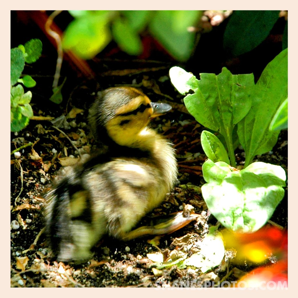 A duckling hiding in the plants on Tom Sawyer Island at Disneyland