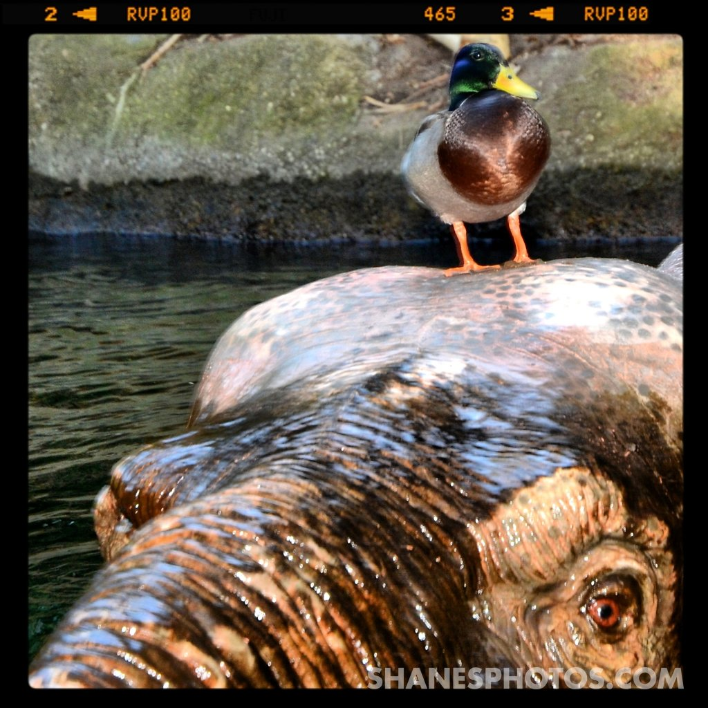 A duck standing on the head
